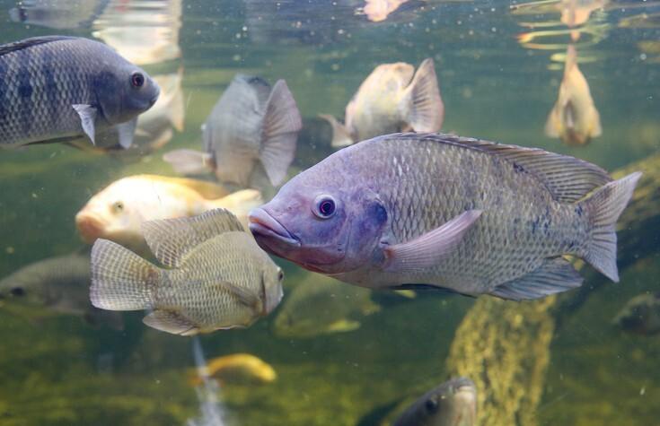 Названы четыре вида рыбы, которые способствуют развитию ожирения