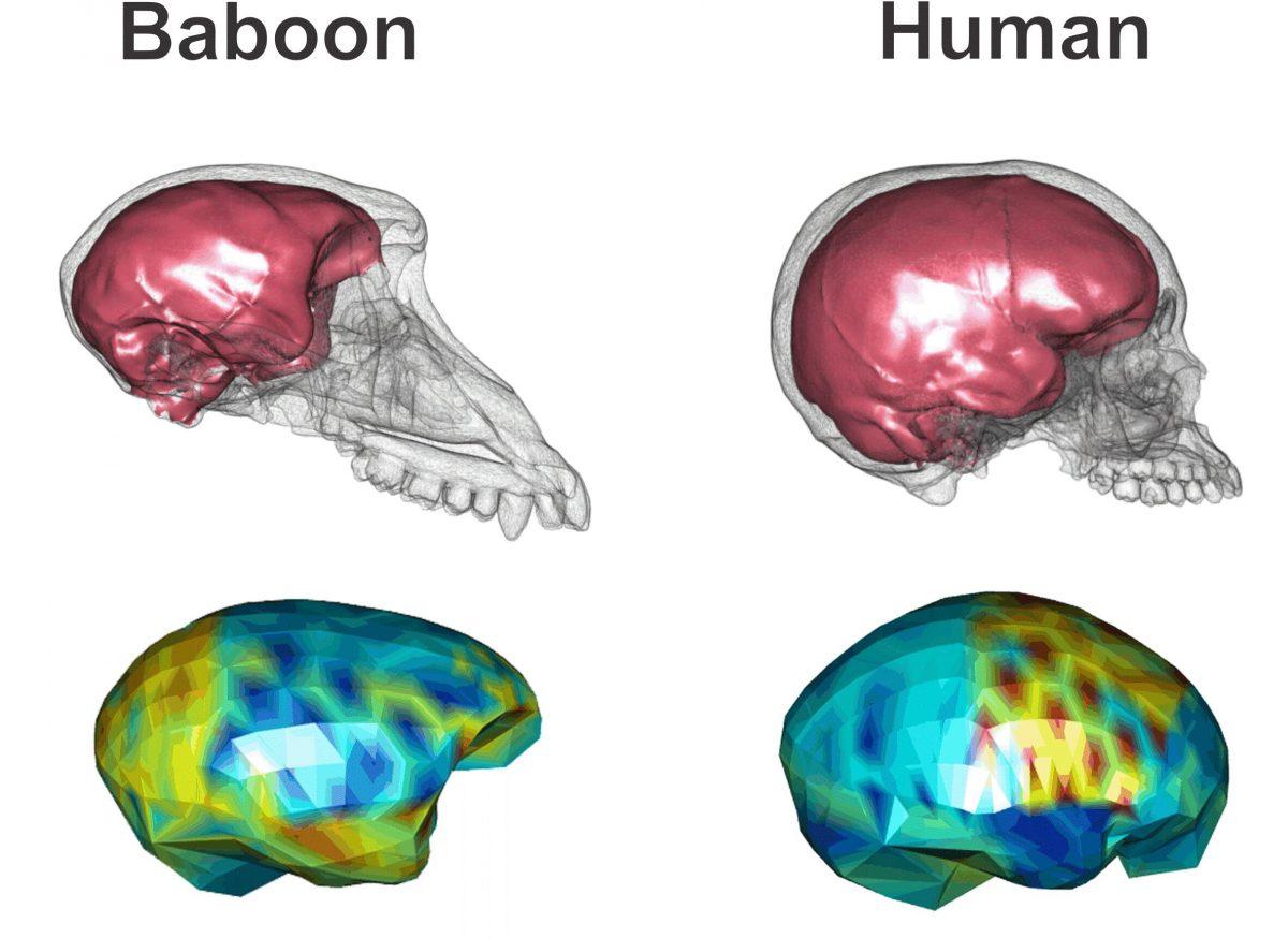 Учёные рассказали о развитии более «правильной» формы у мозга человека