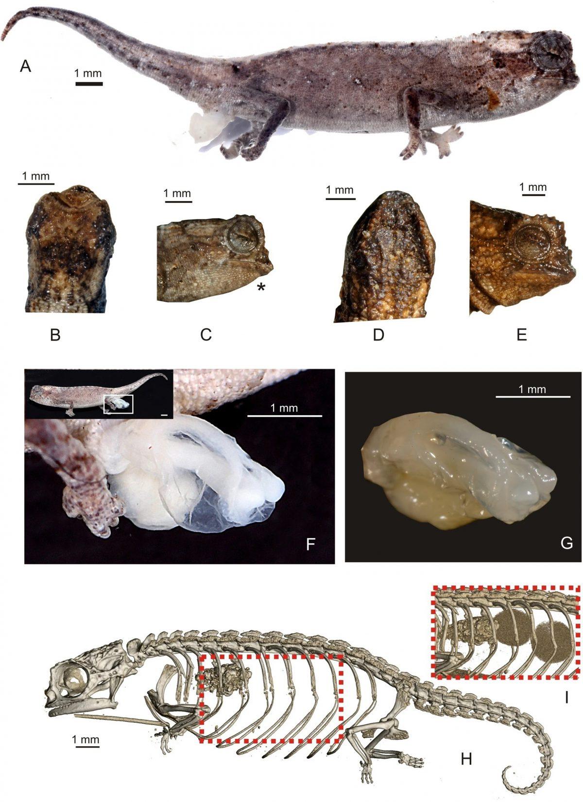 Найдена самая маленькая рептилия в мире